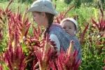 Amaránt aratás a kis Narottammal Krisna-völgyben