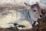Déva a Krisna-völgyi Tehénvédelmi Központ bika borjúja