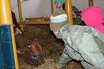 Krisna-völgy iskolásai a tehenészetben