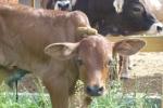 Csandan a különleges kisbika a Krisna-völgyi tehenészetben