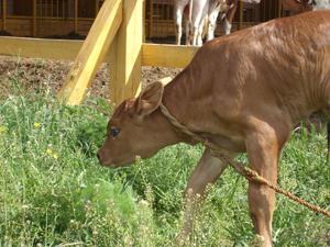 Csandan boldogan legelészik a Krisna-völgyi tehenészetben